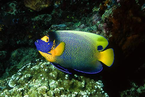 Yellowmask Angelfish - Pomacanthus xanthometopon