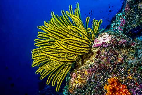 Feather Star - Oxycomanthus bennetti