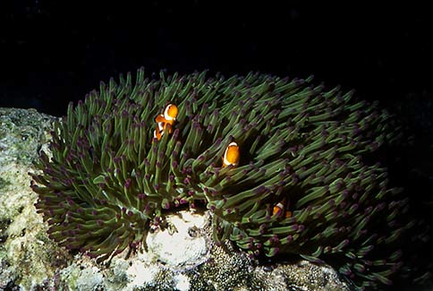 Clown Anemonefish - Amphiprion ocellaris
