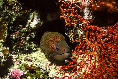 Yellow-Margined Moray - Gymnothorax flavimarginatus