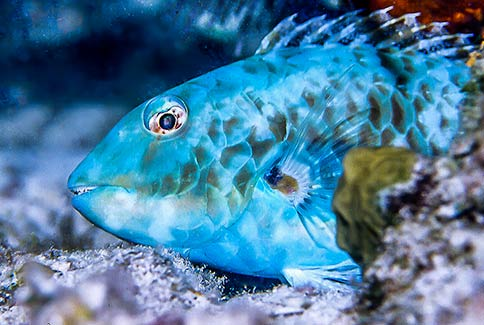 Red Tail Parrotfish - Sparisoma chrysopterum