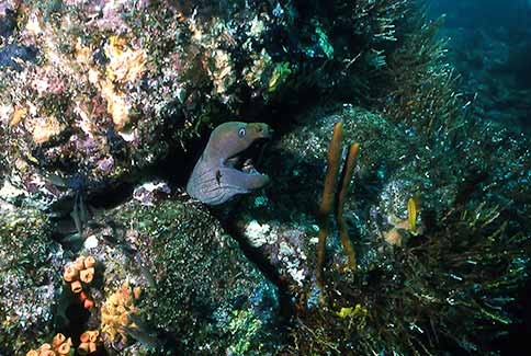 Panamic Green Moray - Gymnothorax castaneus