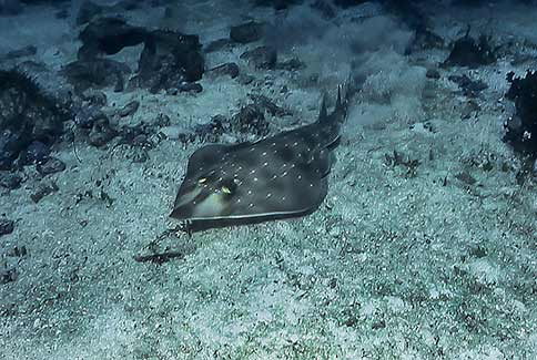 Shovelnose Guitarfish - Rhinobatos productus