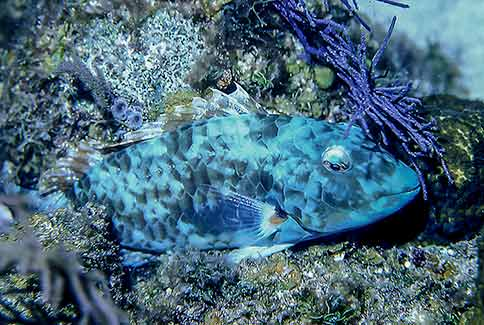 Redtail Parrotfish (at night) - Sparisoma chrysopterum